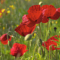 Poppies In Yorkshire by David Hare
