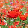 Poppies by Julia Gavin