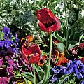 Poppies by Mae Wertz