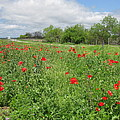 Poppies Near Hondo by Cindy Clements