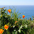Poppies On The Pacific by Lynn Bauer