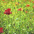 Poppies by Ronald Jansen