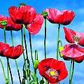 Poppies by Susie Peek
