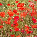 Poppies Vii by David Pringle