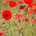 Poppies X by David Pringle