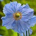 Poppy 6 by Ingrid Smith-Johnsen