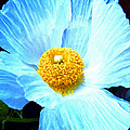 Poppy 8 by Pamela Cooper