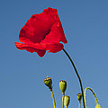 Poppy And Buds by Bob Phillips