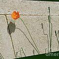 Poppy by Ann Horn