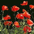 Poppy Art by Bob Phillips
