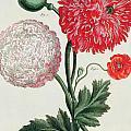 Poppy by Basilius Besler