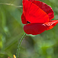 Poppy Blowing In The Wind by Jill Mitchell