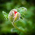 Poppy Bud by Mark Llewellyn