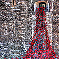 Poppy Cascade by Gill Billington