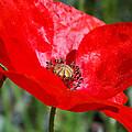 Poppy by Chris Cox