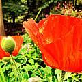 Poppy by Ciara Stumm