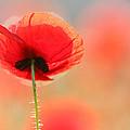 Poppy Dream by Roeselien Raimond