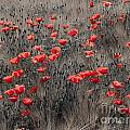 Poppy Field by Brothers Beerens