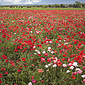 Poppy Field by David and Carol Kelly