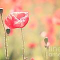 Poppy Field In Tuscany - Italy by Matteo Colombo