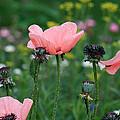Poppy Field by Karen Adams