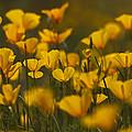Poppy Field  by Saija  Lehtonen