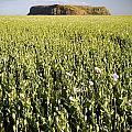 Poppy Field by Tim Hester