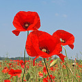 Poppy Fields 4 by Gill Billington