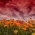 Poppy Fields Forever by Saija  Lehtonen