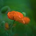 Poppy Flower by Heiko Koehrer-Wagner