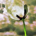 Poppy Flower In The Sky  by Odon Czintos