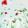 Poppy Flowers Against Blue Sky by Silvia Otte