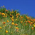 Poppy Flowers Landscape Art Prints Poppies by Baslee Troutman