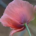 Poppy by Helga Skinner
