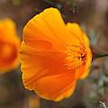 Poppy by Holly Ha Nguyen