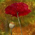 Poppy II by Jeff Grabert