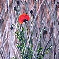 Poppy In The Wild by Kume Bryant