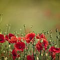 Poppy Meadow by Nailia Schwarz