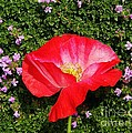 Poppy On Thyme  by Chris Berry