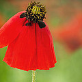 Poppy by Onelia PGPhotography