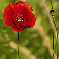 Poppy by Phyllis Taylor