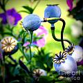 Poppy Pods And Curvy Stems. by Renee Croushore