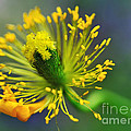 Poppy Seed Capsule 2 by Kaye Menner