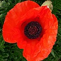 Poppy Of Remembrance  by Sharon Duguay