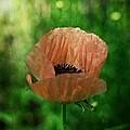 Poppy by Simone Ochrym