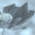 Poppy Tinge by Maria Urso