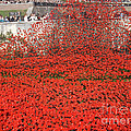 Poppy Tribute Of The Century. by Cynthia Adams
