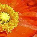 Poppy Up Close by Bruce Bley
