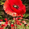 Poppy Watercolor Effect by Laurie Eve Loftin