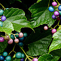 Porcelain Berries by Lisa Phillips
